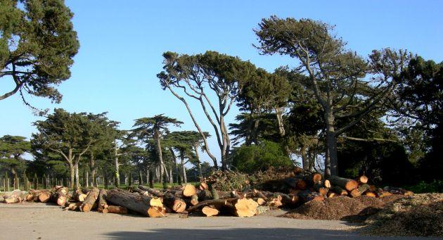 felled trees 015