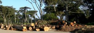 felled-trees-lake merced