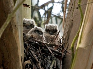 Young Great Horned Owls being raised in Eucalyptus tree