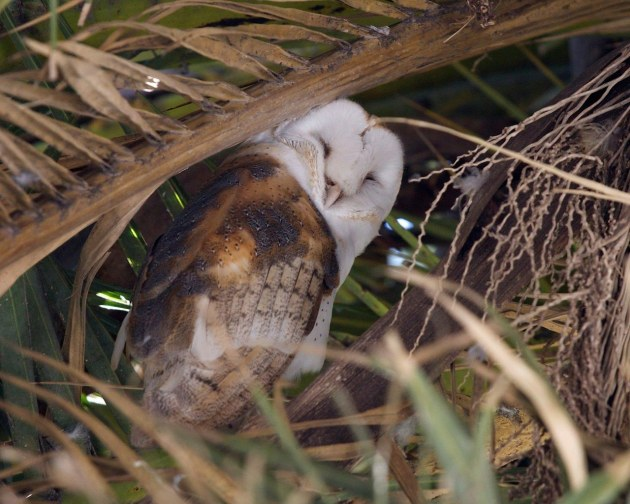 Barn owl and mate nest in a non-native palm tree
