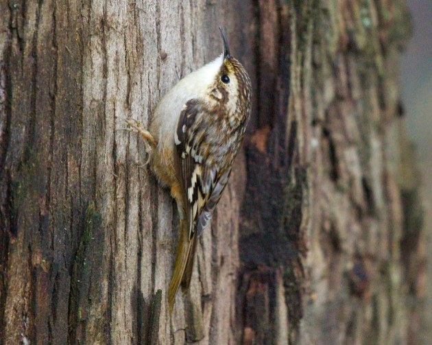 Brown creeper forages on eucalyptus