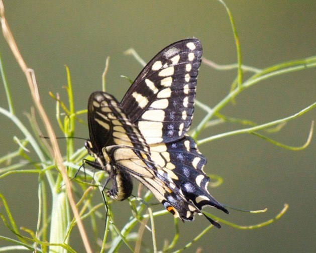 Anise Swallowtail butterfly lays eggs on fennel