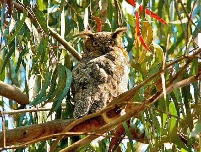 Great Horned Owl in eucalyptus