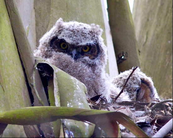 Great horned owlets in eucalyptus. San Francisco. Janet Kessler