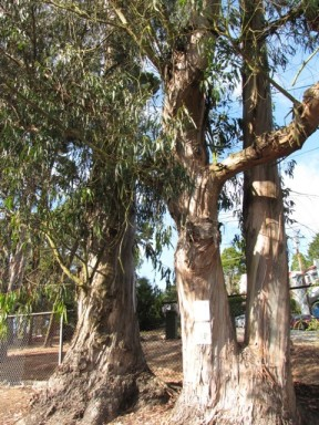 Glen Canyon ancient eucalyptus  trees doomed 1