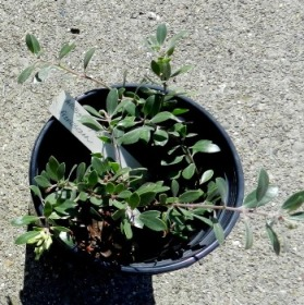 six-dollar franciscan manzanita