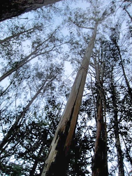 Tree canopy reaches for the sky in Sutro Forest