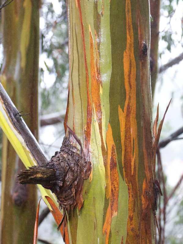 eucalyptus in the rain -1