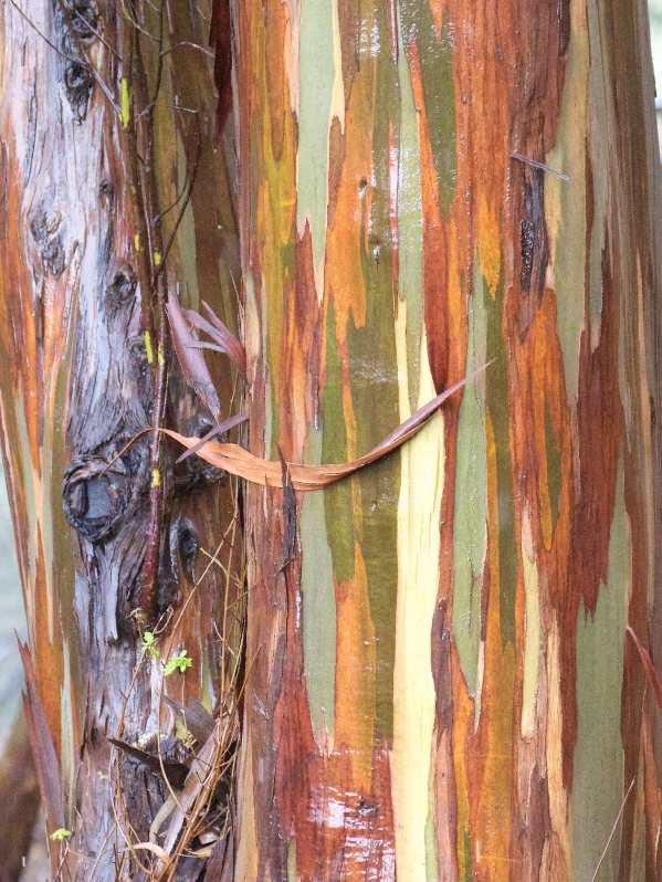 eucalyptus in the rain -2
