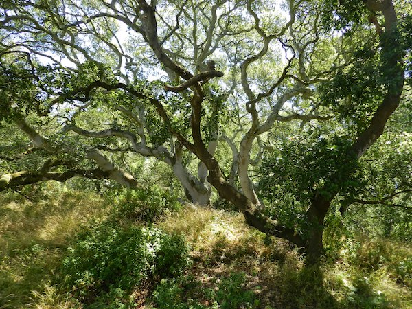 Oak in Golden Gate Park