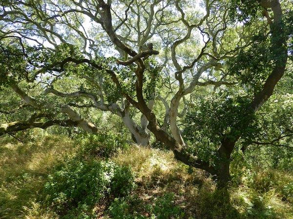 Oak in Golden Gate Park