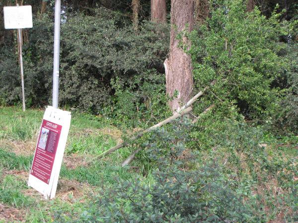 Downed oak on Mt Davidson