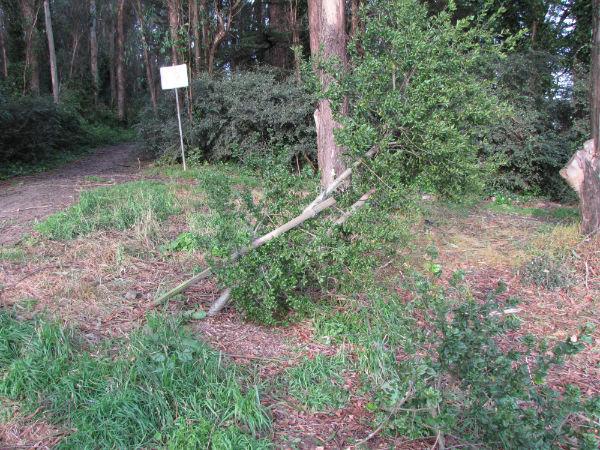 Picture 005 downed oak on Mt Davidson