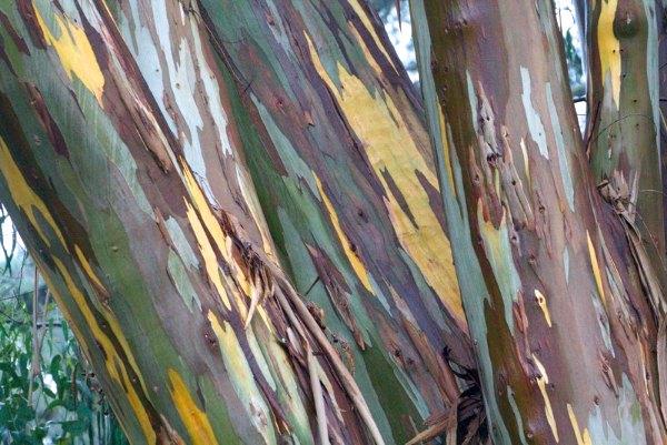 Rainbow Eucalyptus in the rain