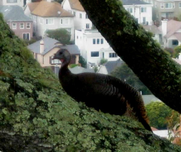 wild turkey in SF - edited from photograph by Tim Cashman