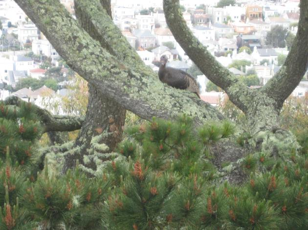 Wild turkey San Francisco by Tim Cashman