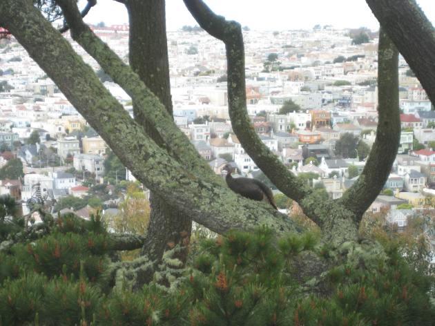 Wild turkey San Francisco - photo by Tim Cashman