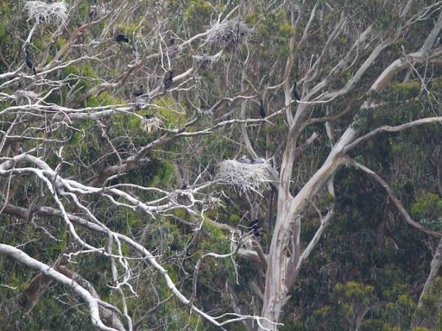 2013-05-13 eucalyptus rookery herons cormorants