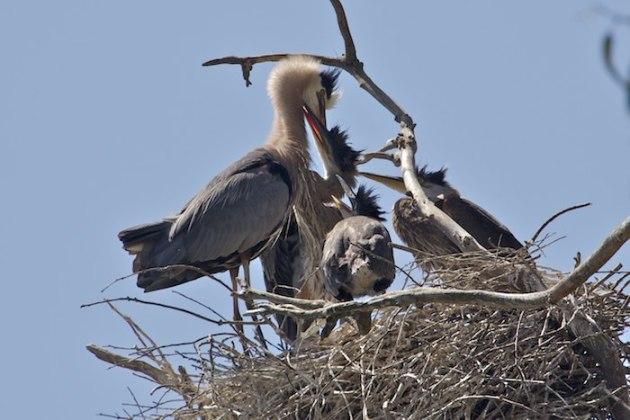 2013-05-14 great blue herons nest