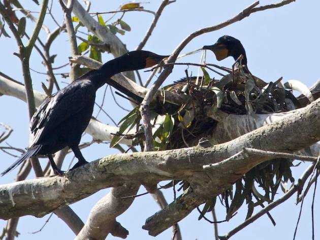 2013-05-142 double-crested cormorants nest