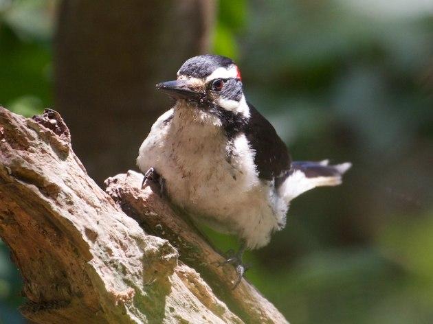 2013-05-21 (2) hairy woodpecker