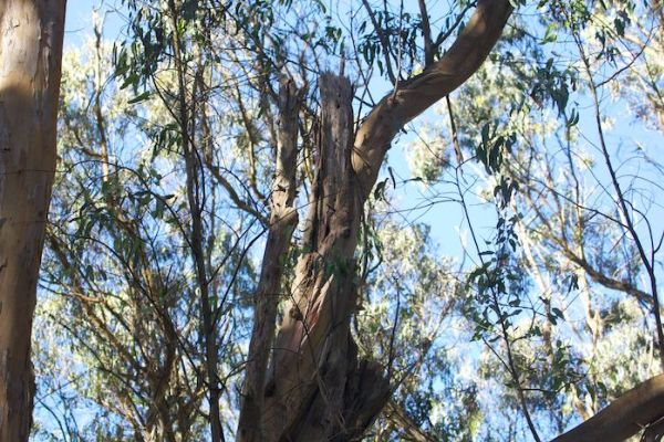 Just another eucalyptus tree 'in decline' - Janet Kessler