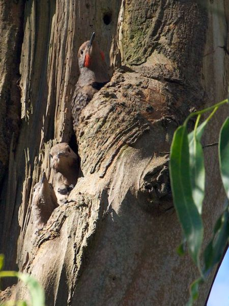 Red-shafted flicker family in eucalyptus tree nest - San Francisco - Janet Kessler