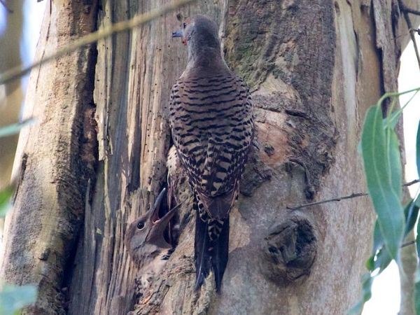 Red-shafted flicker parent and chick on a eucalyptus tree - San Francisco - Janet Kessler