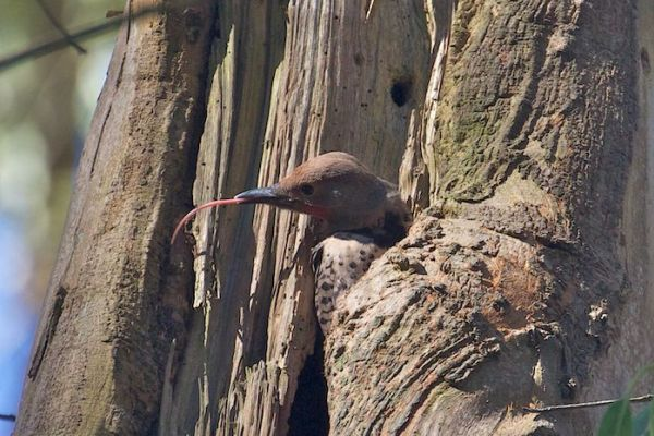red-shafted flicker sticks out its tongue - Janet Kessler