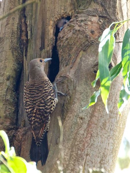 The eucalyptus-tree nest hole of the red-shafted flicker - San Francisco. Janet Kessler