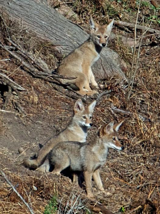 coyote pups 1