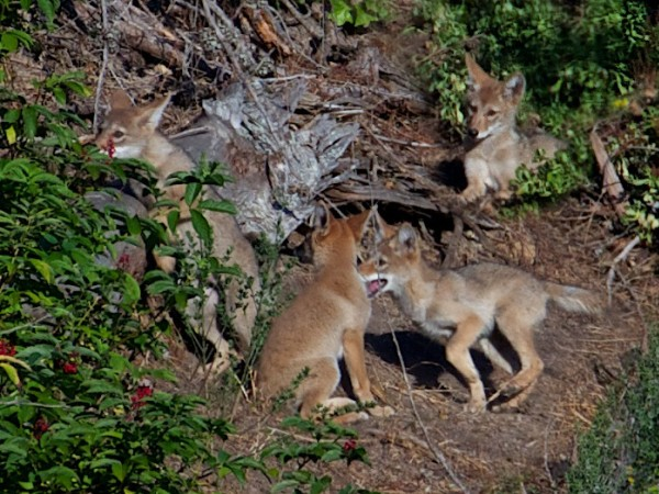 Coyote pups.  Janet Kessler