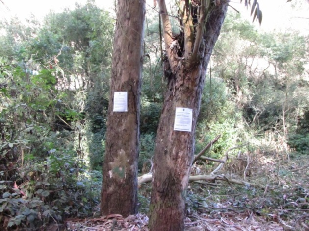 Pair of trees, marked for destruction