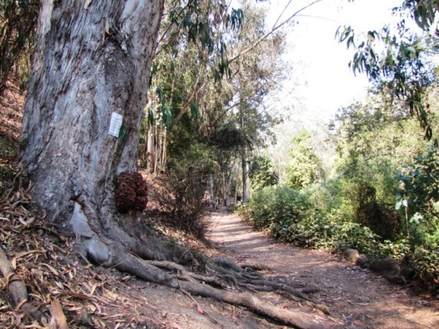 Octopus Tree along Glenridge trail