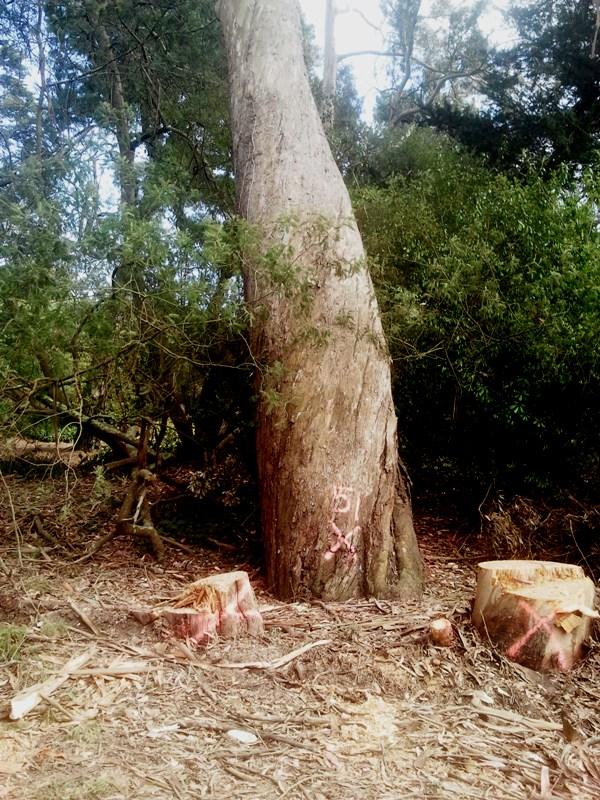 golden gate park tree felling