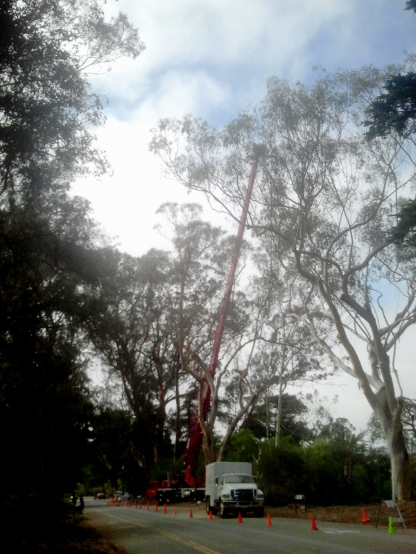 GGP Tree felling