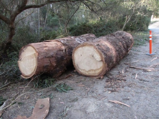 Once trees, now logs (easy removal via Alms Road)
