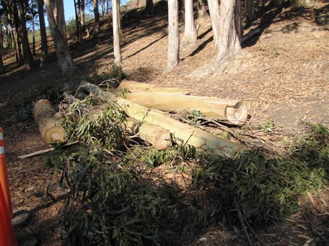 Fallen Euchs near Silver Tree day camp