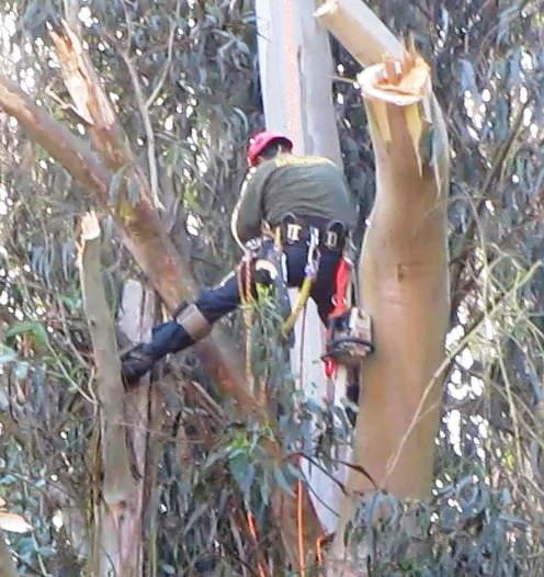 tree workers cut limb by limb