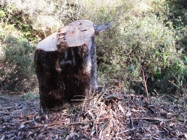 Cut Stump along trail to Glenridge Co-Op Nursery School