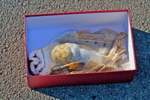 dead barn owl found in Glen Canyon Park