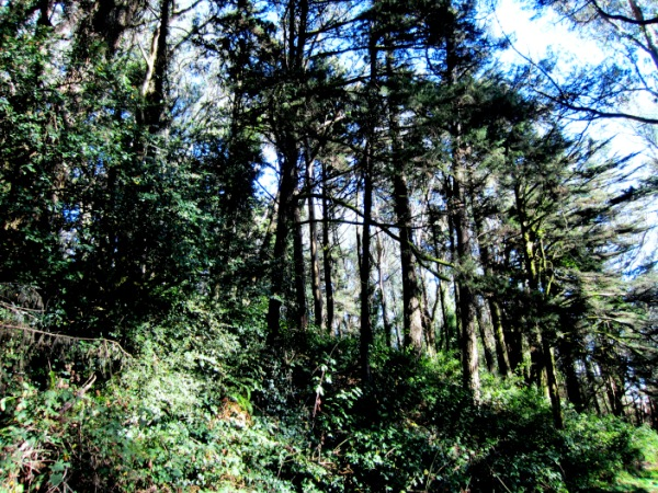 An array of Monterey pines
