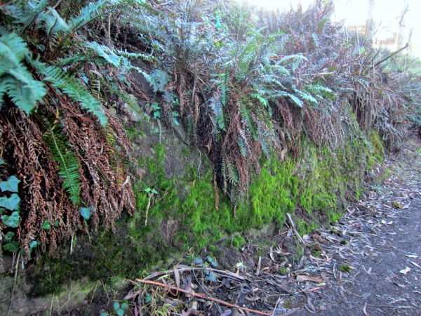mossy bank with ferns in Mt Davidson forest