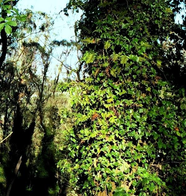 mt davidson jan 2014 ferns ivy blackberry