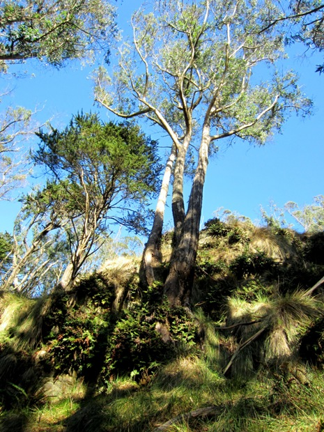 pacific reed grass under eucalyptus