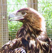 Aquila_adalberti wikimedia commons cca3