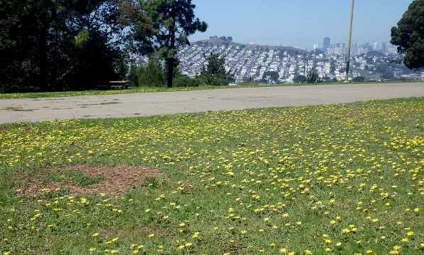 Daisies on the lawn, Bernal Hill in the distance