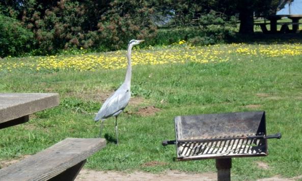 great blue heron gopher-hunting