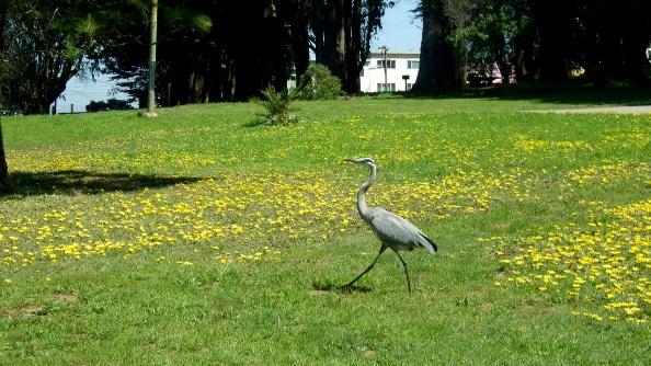 Great Blue Heron - long-legged beauty
