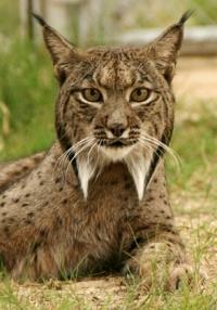iberian lynx wikimedia commons cca25-klia